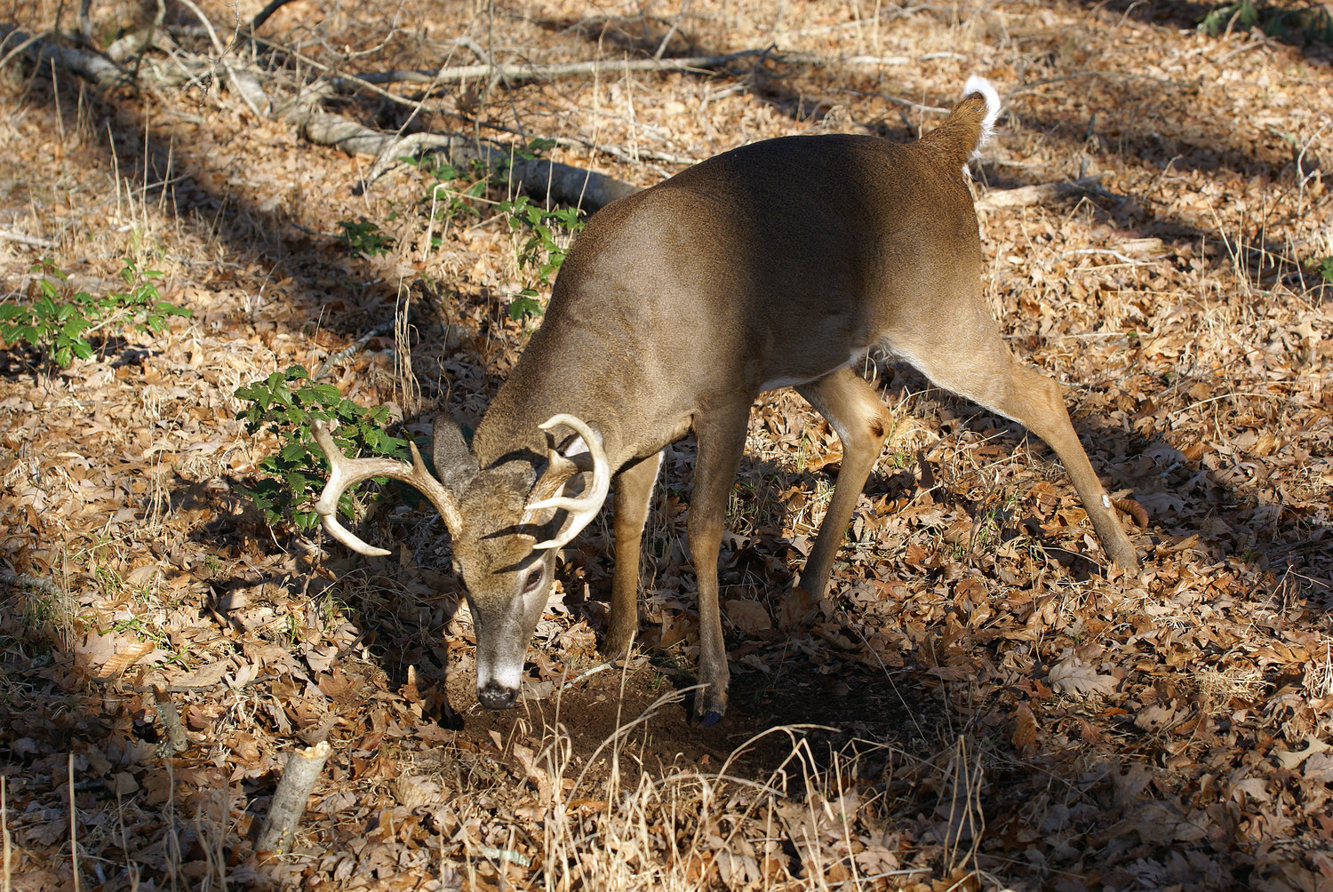 A whitetail buck freshens a scrape to leave new scent during the rutting process.