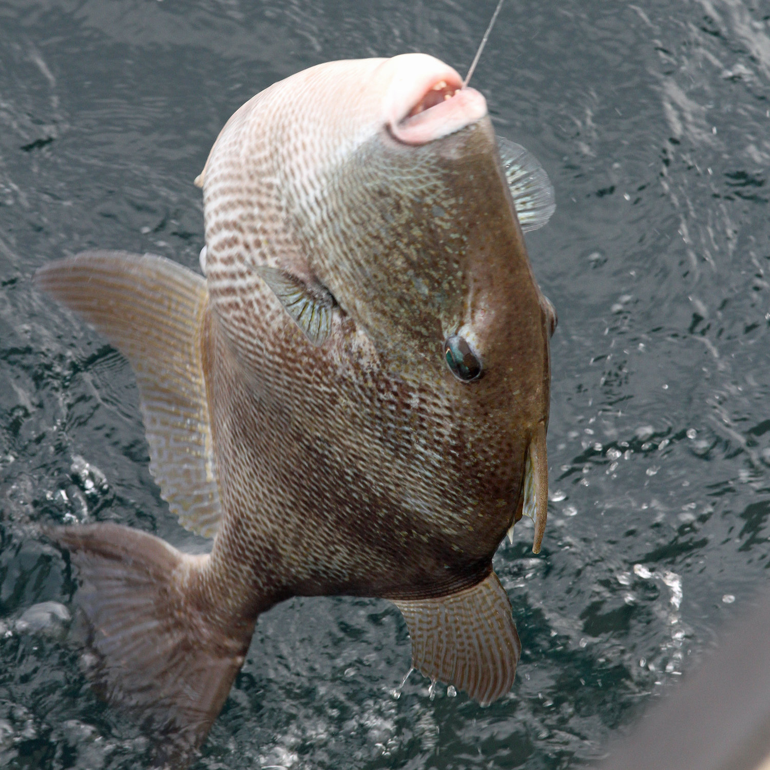 The 2021 quota for gray triggerfish in the Gulf of Mexico is 305,300 pounds.