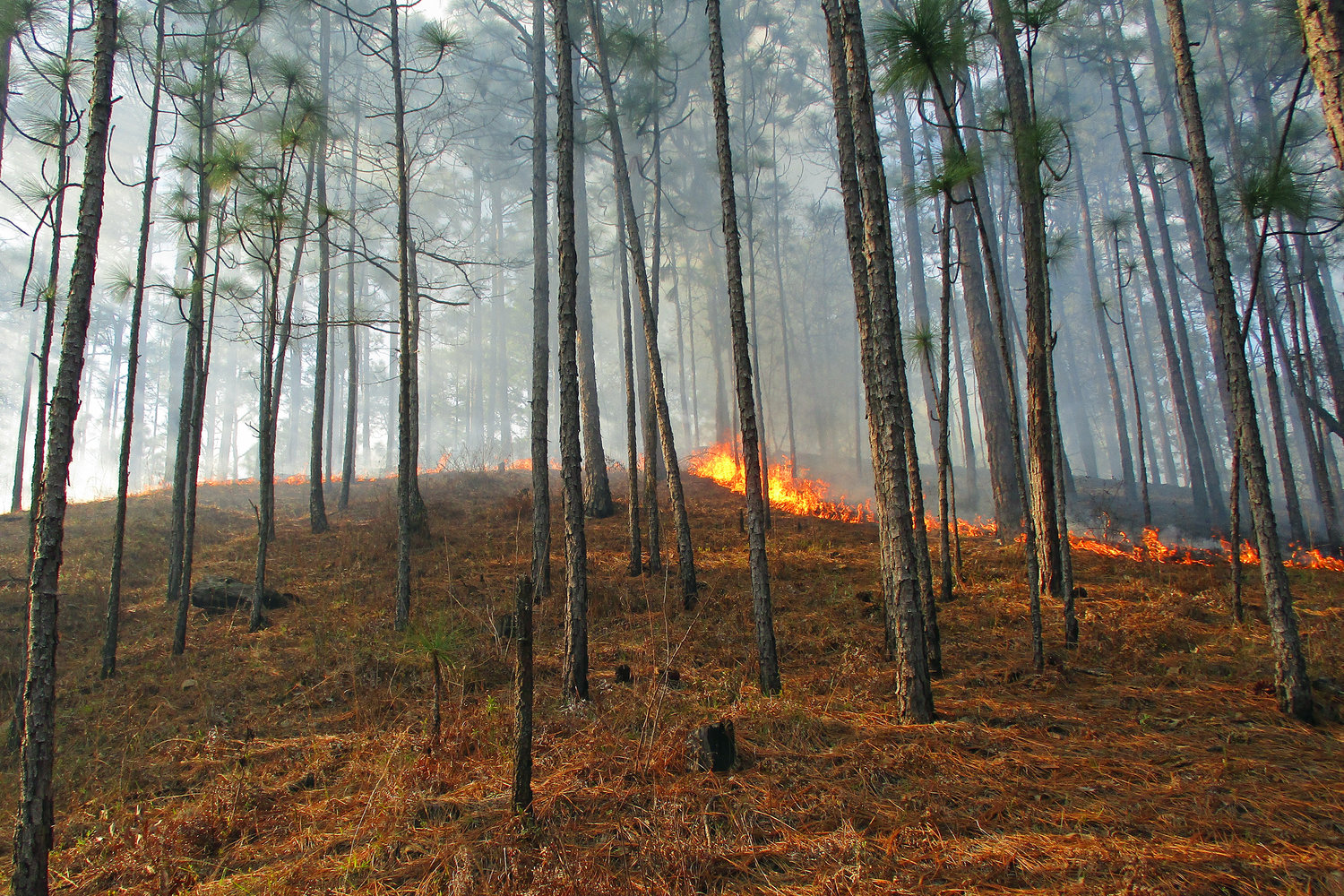 A prescribed fire moves through a pine plantation to eliminate excess fuel in the understory.