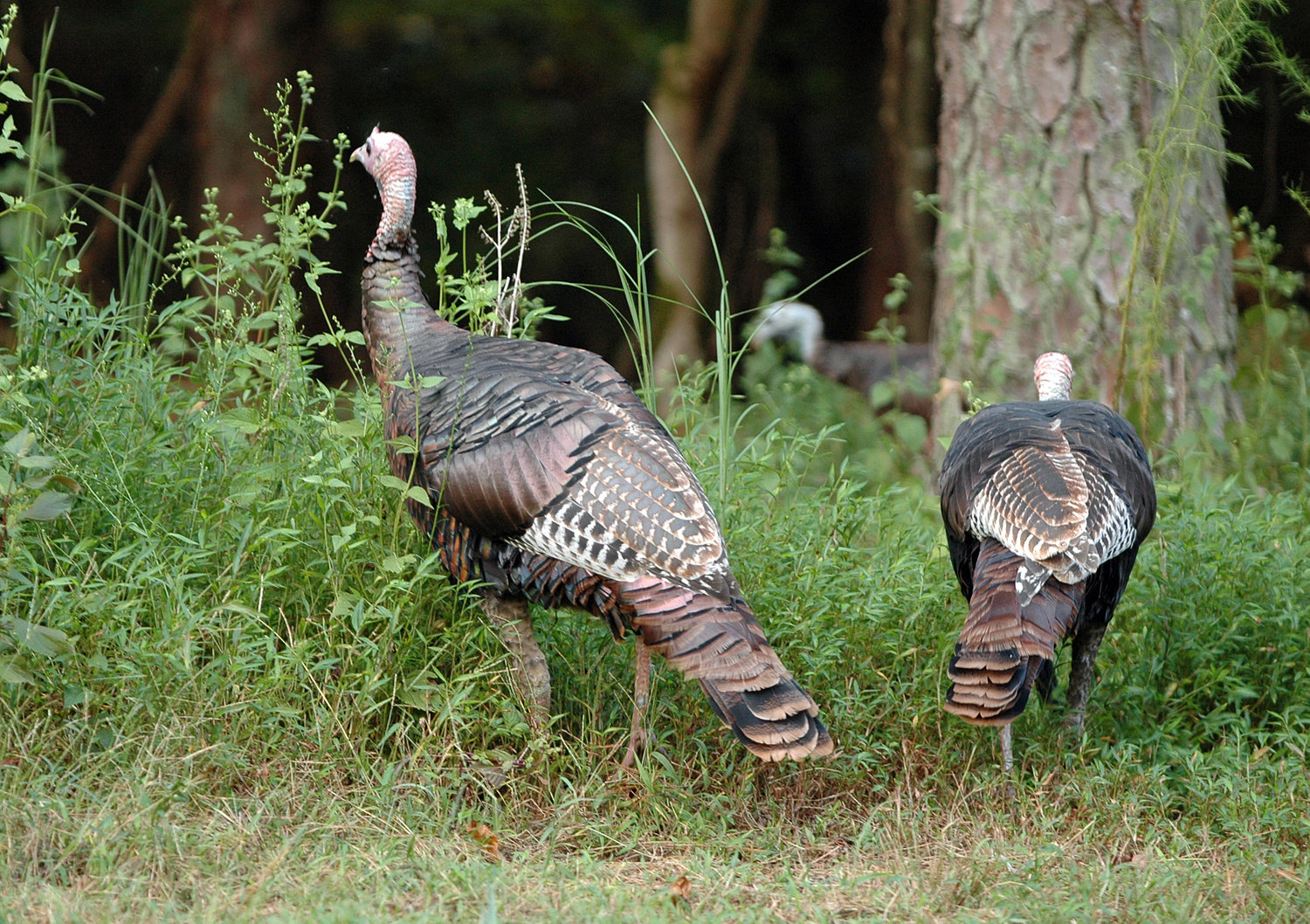 The Alabama Conservation Advisory Board voted to open the 2022 turkey season on March 25 with a four-bird season bag limit.