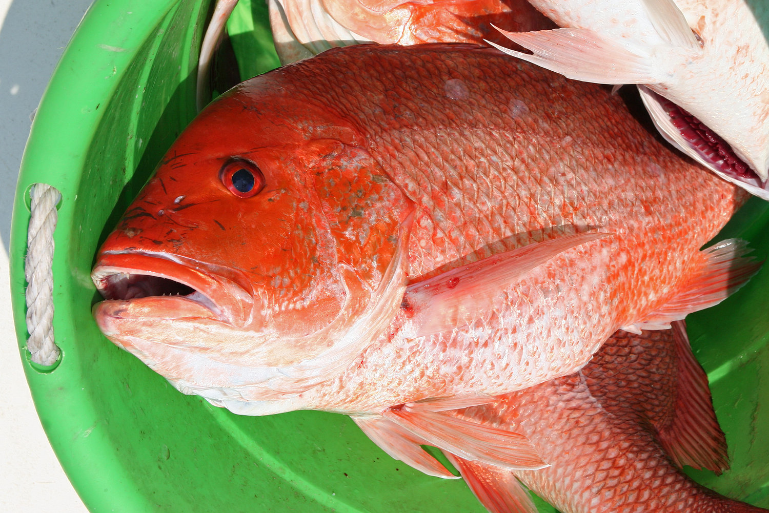 The Alabama red snapper season quota could be reduced for 2021.