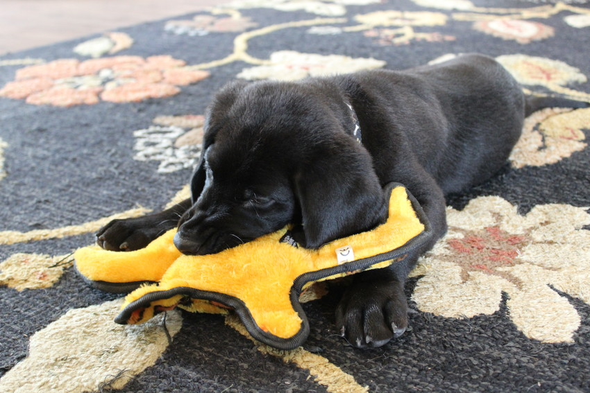 Eleven-week-old Einstein, a service-dog-in-training, plays with his favorite toy at the Dog Alliance's Cedar Park facility.