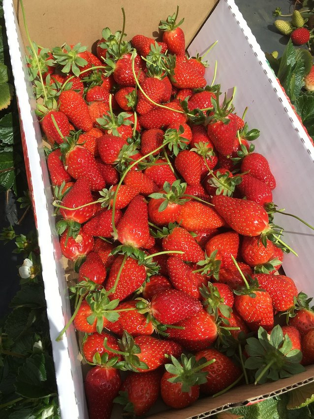 In late May, the strawberries are almost ready for picking. Modern child labor laws have put most 5th and 6th graders out of the strawberry-picking business.
