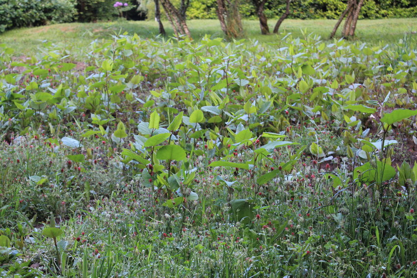Japanese Knotweed, deceptively beautiful, is a pesky plant local man Denny Hamilton continues to battle in his yard.