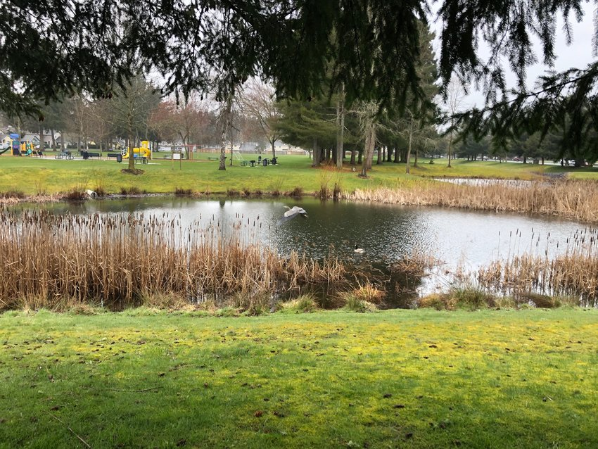 Look closely and you'll see a blue heron in flight near the center of the pond. It's unusual to see these birds in the city; this one was spotted at William A. Bush Park on Yelm Highway in Lacey on March 24, 2021.