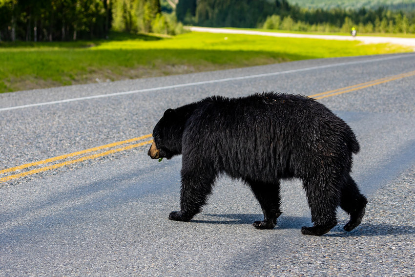 An American Brown Bear, the same species found in Lacey on May 8, 2021, crossing a street in Alaska.