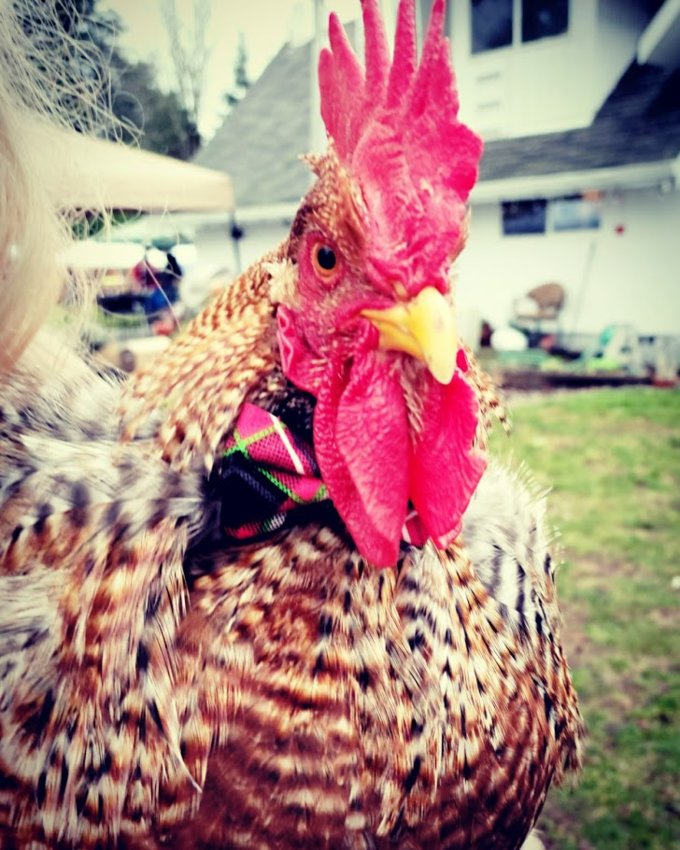 """This is Chanticleer the rooster, the subject of a legal battle with the City of Tumwater.  He is described by his owner as """"dapper"""" -- he doesn't mind wearing a bow tie."""