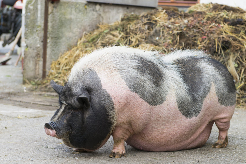 Potbelly (or pot-bellied) pigs are permitted as household pets in the city of Olympia but must be licensed.