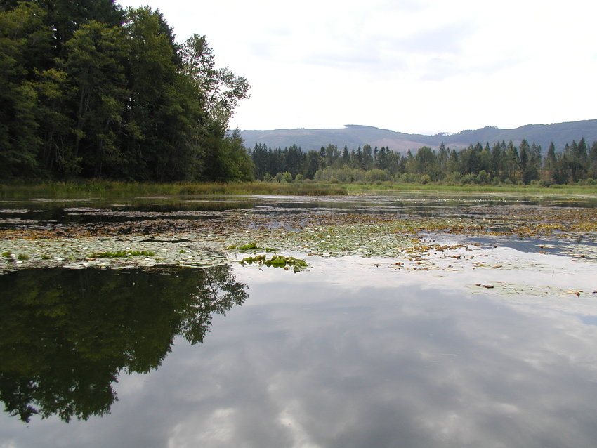 This recent image of Lake Lawrence, in south Thurston County, shows a layer of algae scum that caused health officials to restrict use of the lake on Aug. 13, 2021.