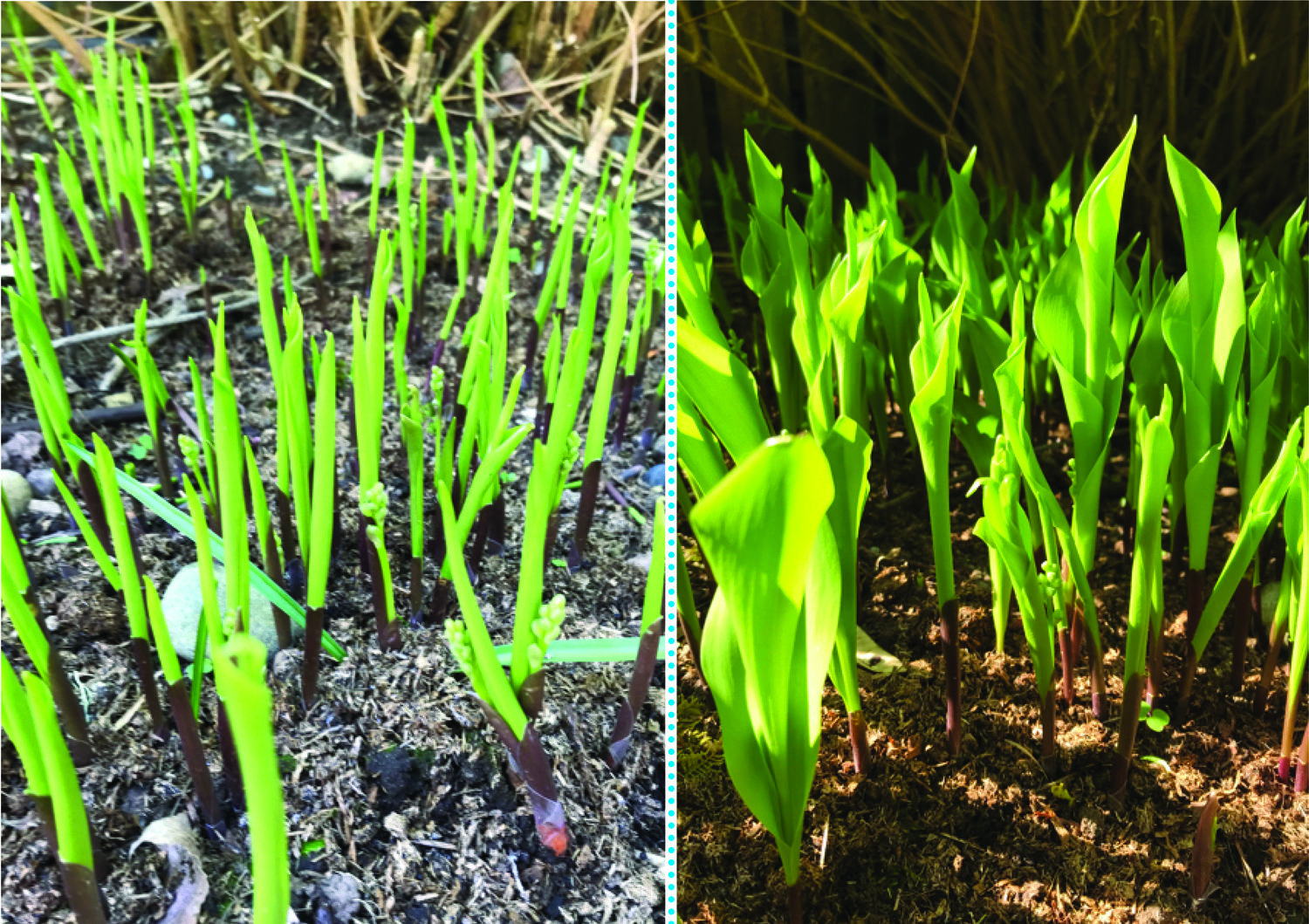 How fast the Lilies of the Valley grow! The image on the left was made on Monday; the image on the right was taken on Friday morning.