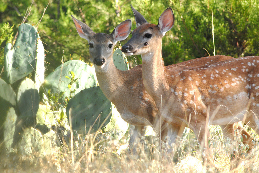 Excellent habitat conditions during last fall's breeding season and continuing through the winter/spring gestation period have led wildlife professionals to predict a large, healthy fawn crop and better than average fawn survival – perhaps as high as 50%. Many does will birth twin fawns like these two.