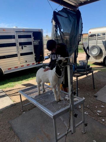 4-H member Tanner Dean giving his goat a haircut to cool him off for the summer.