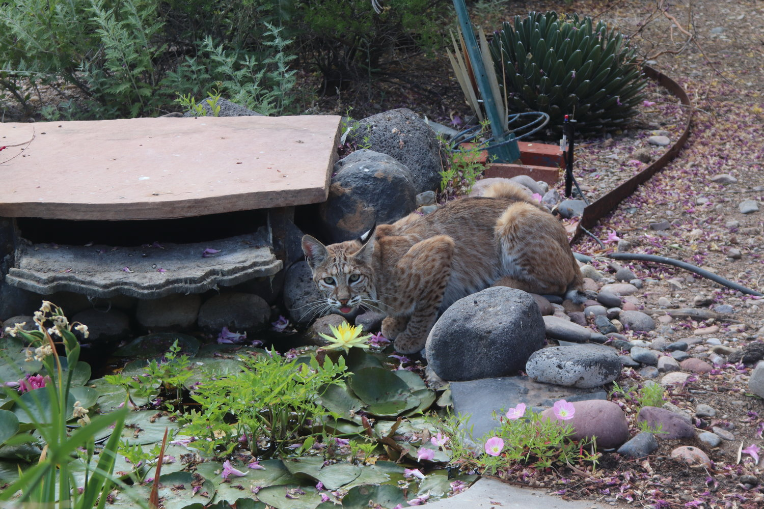 A visiting bobcat grabs a drink from a water feature at the Burr home in Las Cruces. Bobcats, javelina and other wildlife are venturing into residential areas around Las Cruces to escape the heat and seek easy prey.