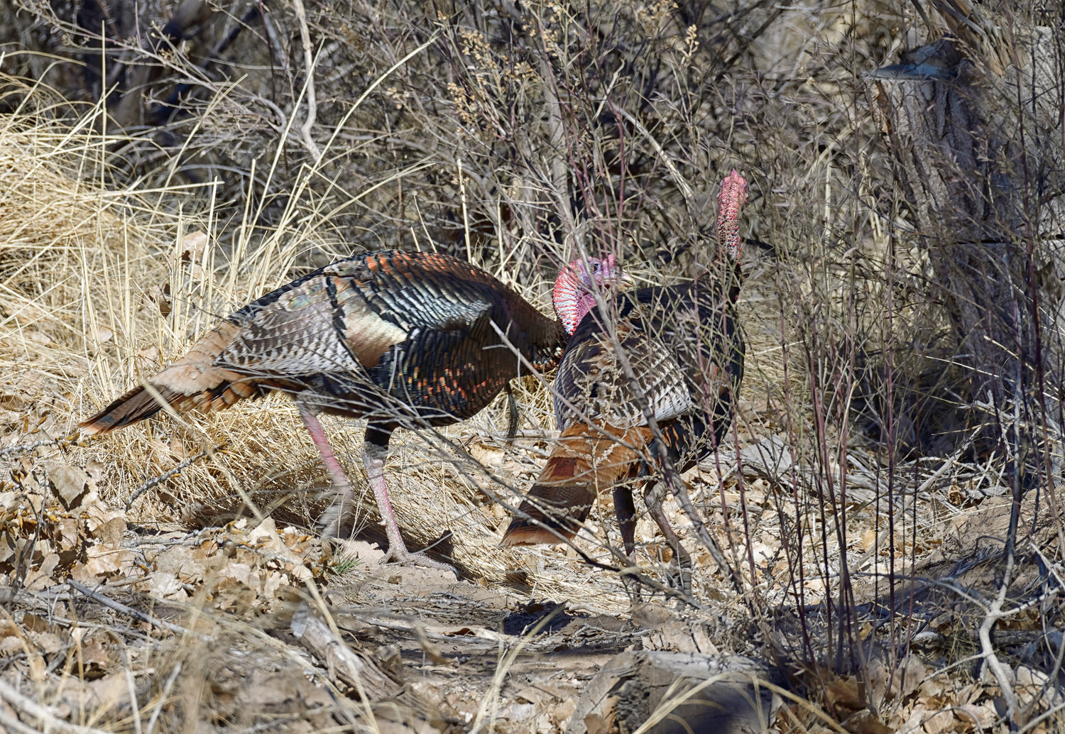Bosque Gobblers-Winter Bosque