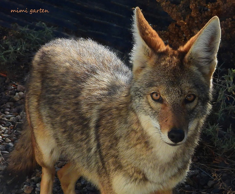 """Coyote Close,"" photograph by Mimi Garten"