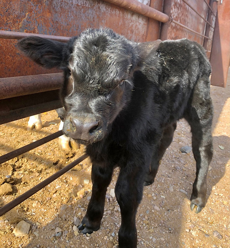 This is a Brangus born in December at New Mexico Farm and Ranch Heritage Museum.