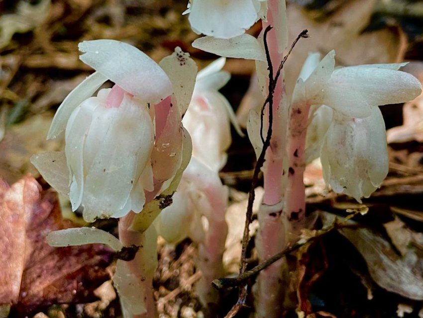 Ghost pipes are native to the south.