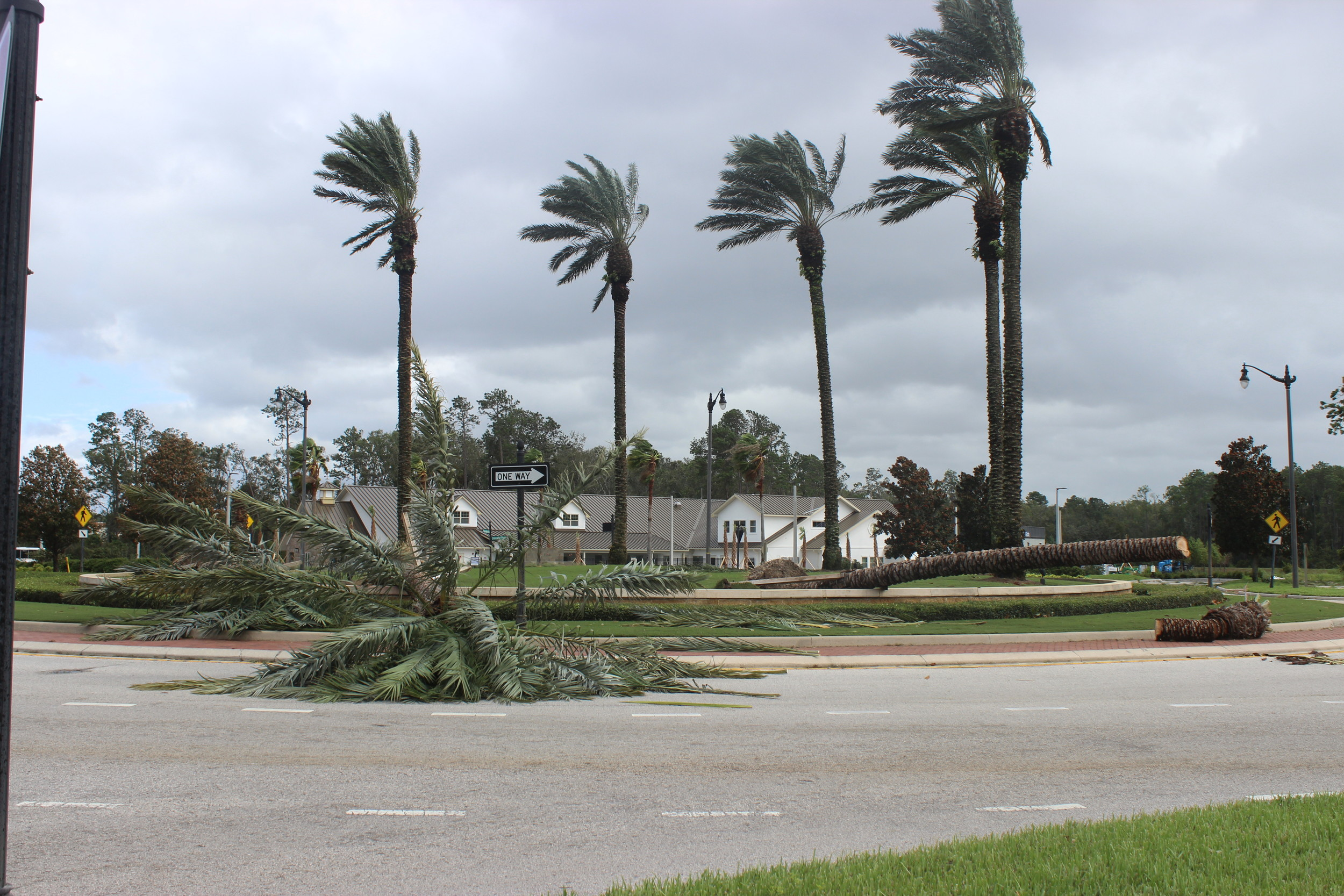 A palm tree in Nocatee falls to Hurricane Irma.