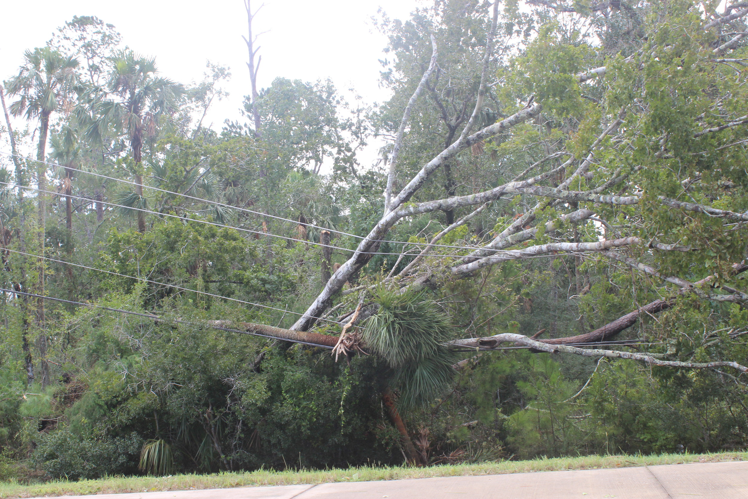 A fallen tree rests on a power line on Nocatee Parkway.