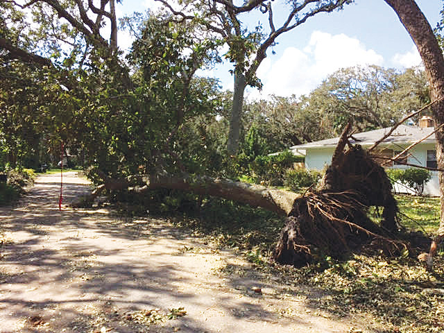 A large tree lays sideways on a Ponte Vedra Beach side street due to Hurricane Irma's intense winds.