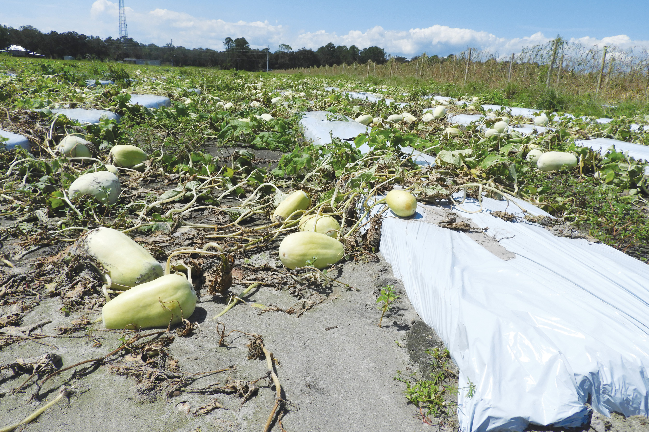 Winter Melon (pictured above), also known as ash gourd, is one of the crops included in the nearly 200 acres of Asian vegetables in St. Johns County that were damaged because of the high winds and inundating rainfall brought to the area by Hurricane Irma. According to UF/IFAS Extension of St. Johns County, one of the largest impacts for agriculture will be for cabbage, broccoli and brussels sprouts growers who will have to delay planting by one to two weeks during the peak fall growing window because of waterlogged soils. Small acreages of field corn and sweet potatoes were also impacted.