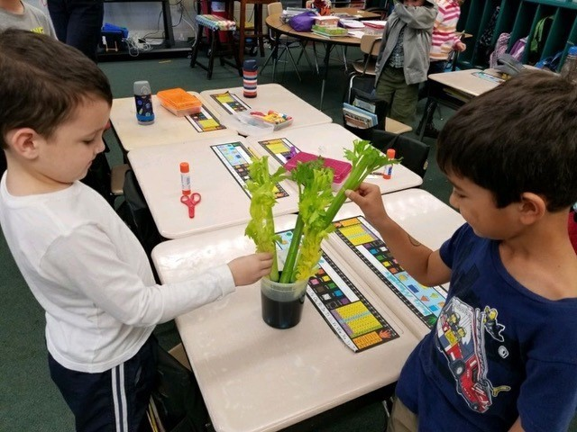 Nick N. and Morgan C. set up an experiment to observe how water travels through a plant.