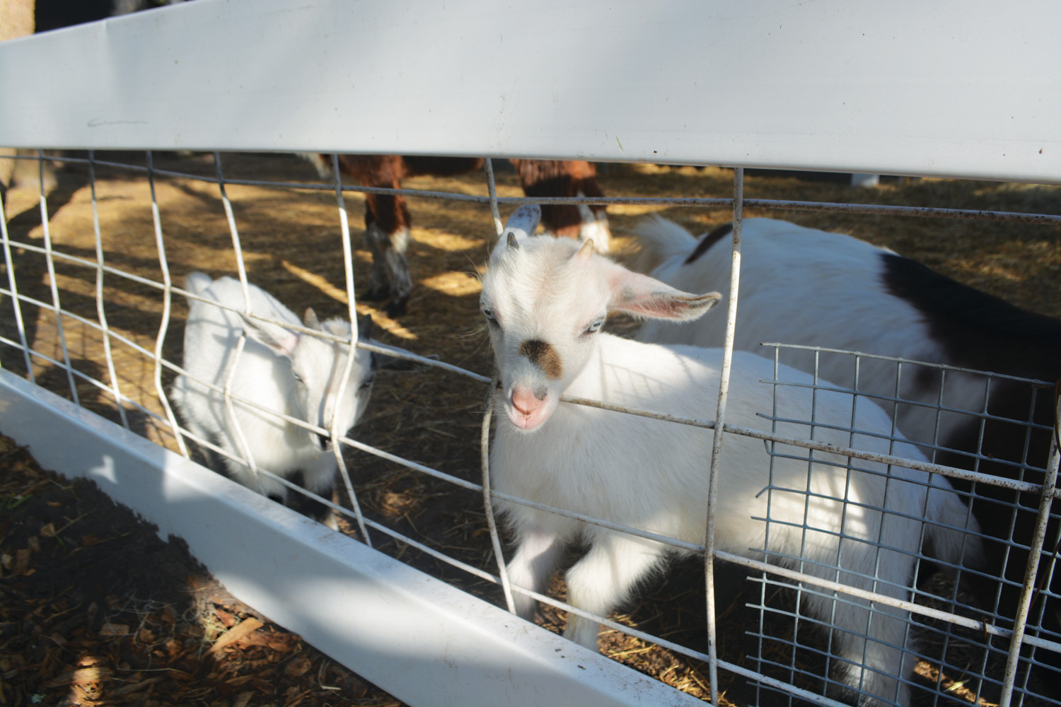 A small goat greets visitors at the animal preserve at Fantasy Farms.