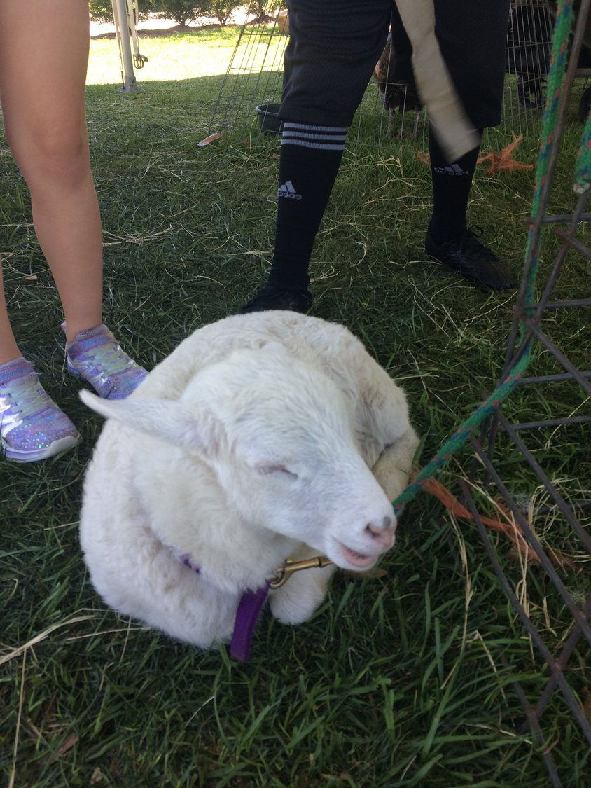 A lamb in the petting zoo enjoys the company of attendees of the Farmers Market.