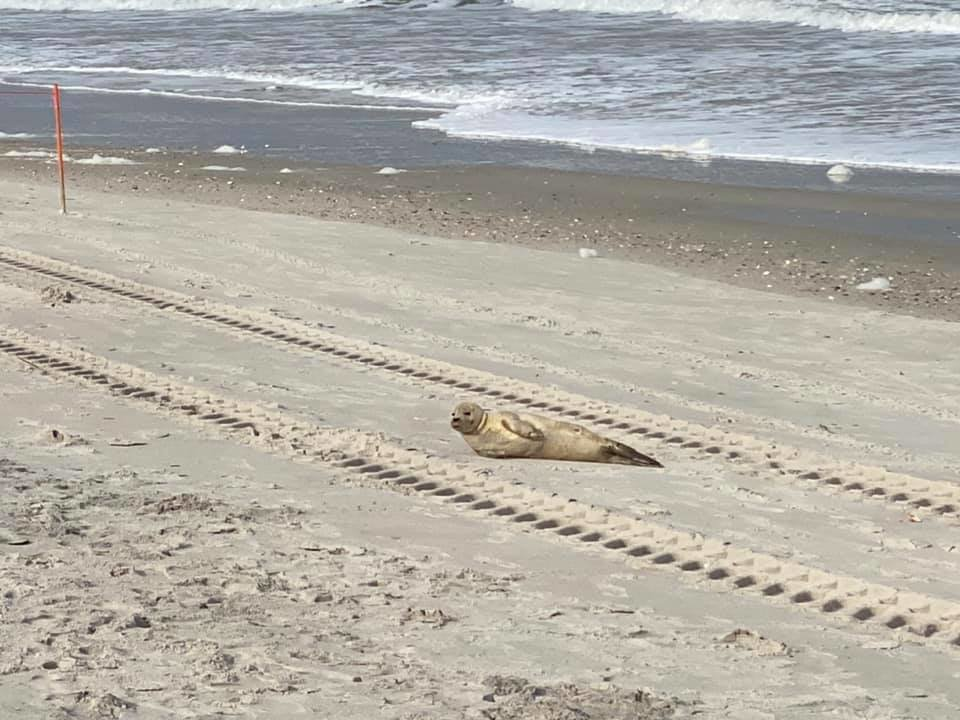 A juvenile harbor seal takes a rest on the beach on Ponte Vedra on Monday, Feb. 8.
