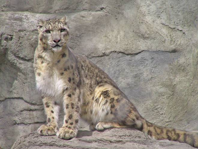 Ro, the female Snow Leopard, at Roger Williams Park Zoo