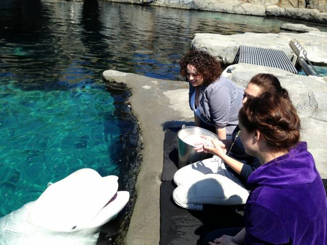 The Trainer for a Day program allows guests to go inside the beluga whale habitat