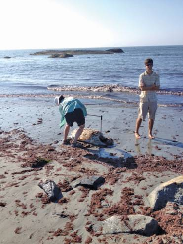 The Root family recently discovered this beached sea turtle  and reported it to the Audubon Society