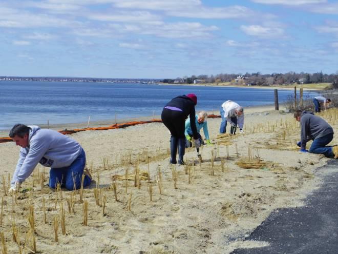 Volunteers planting beach grass at Barrington Beach