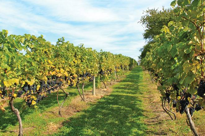 The grapes at Carolyn's Sakonnet Vineyard