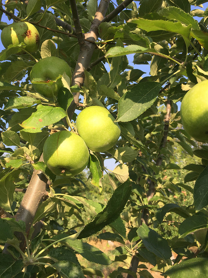 The Rhode Island Greening is the state's official fruit