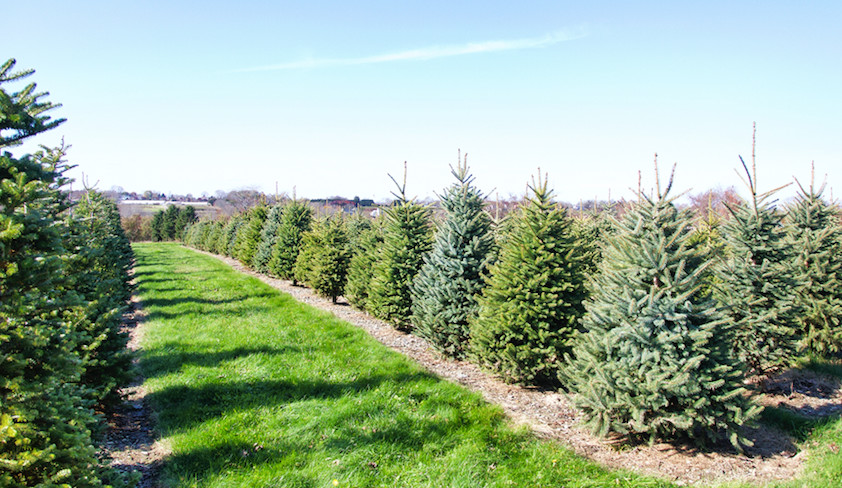 Chopping local for a holiday evergreen at Sweetberry Farm in Middletown