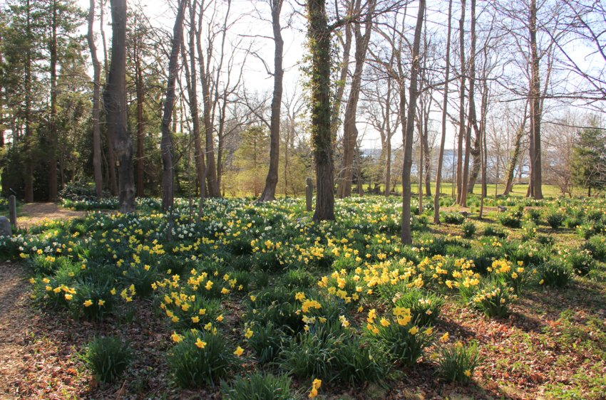 "Since daffodils are the first flowers to bloom after winter, they are often referred to as ""the heralds of spring"""