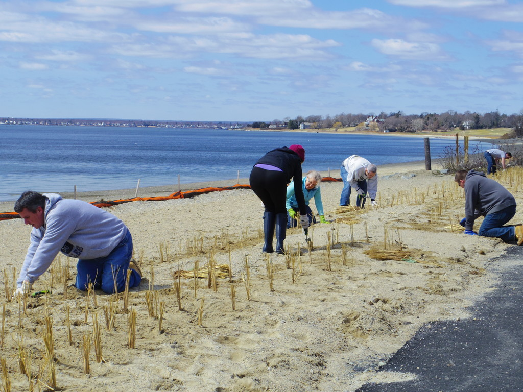 Volunteers planting beach grass at Barrington Beach
