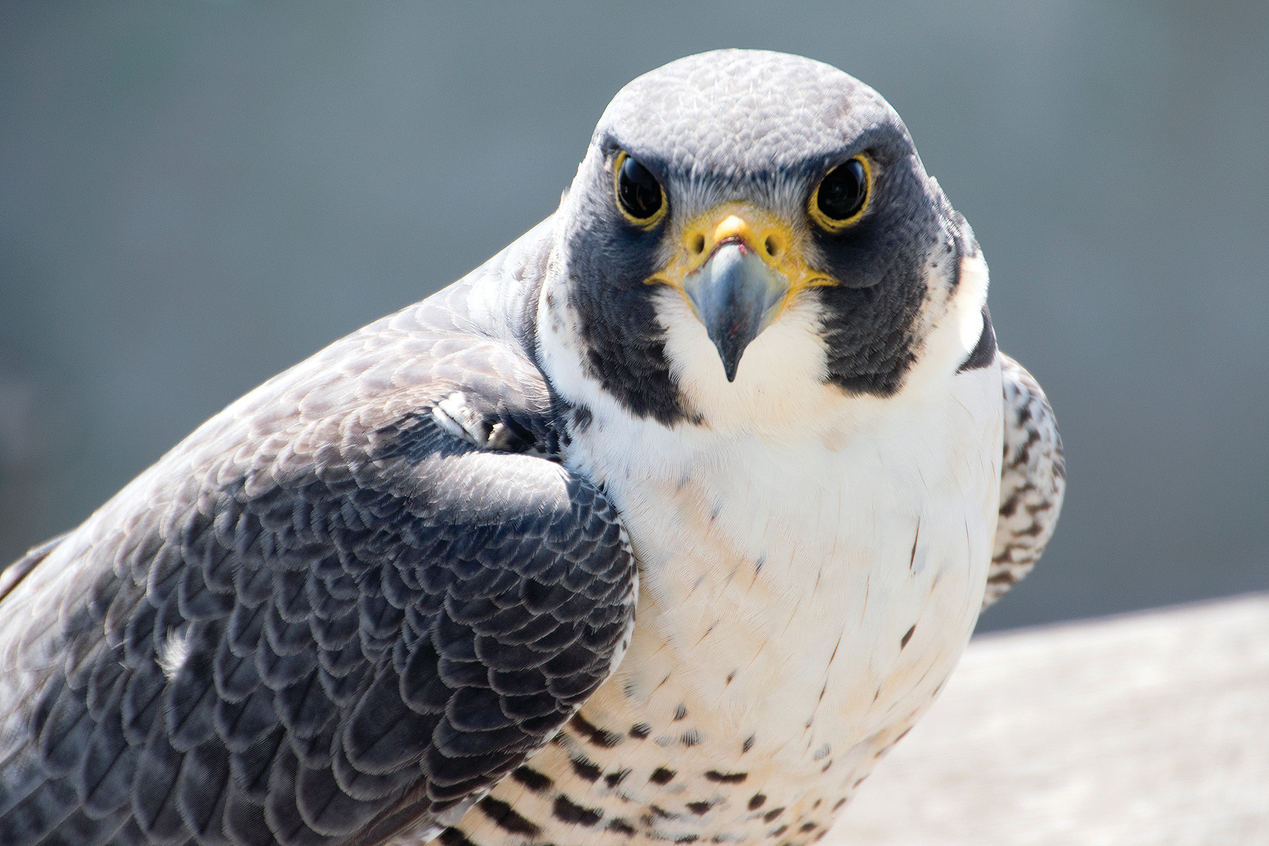 Peregrine falcons might have the most enviable view in the town from their nest atop the Superman Building