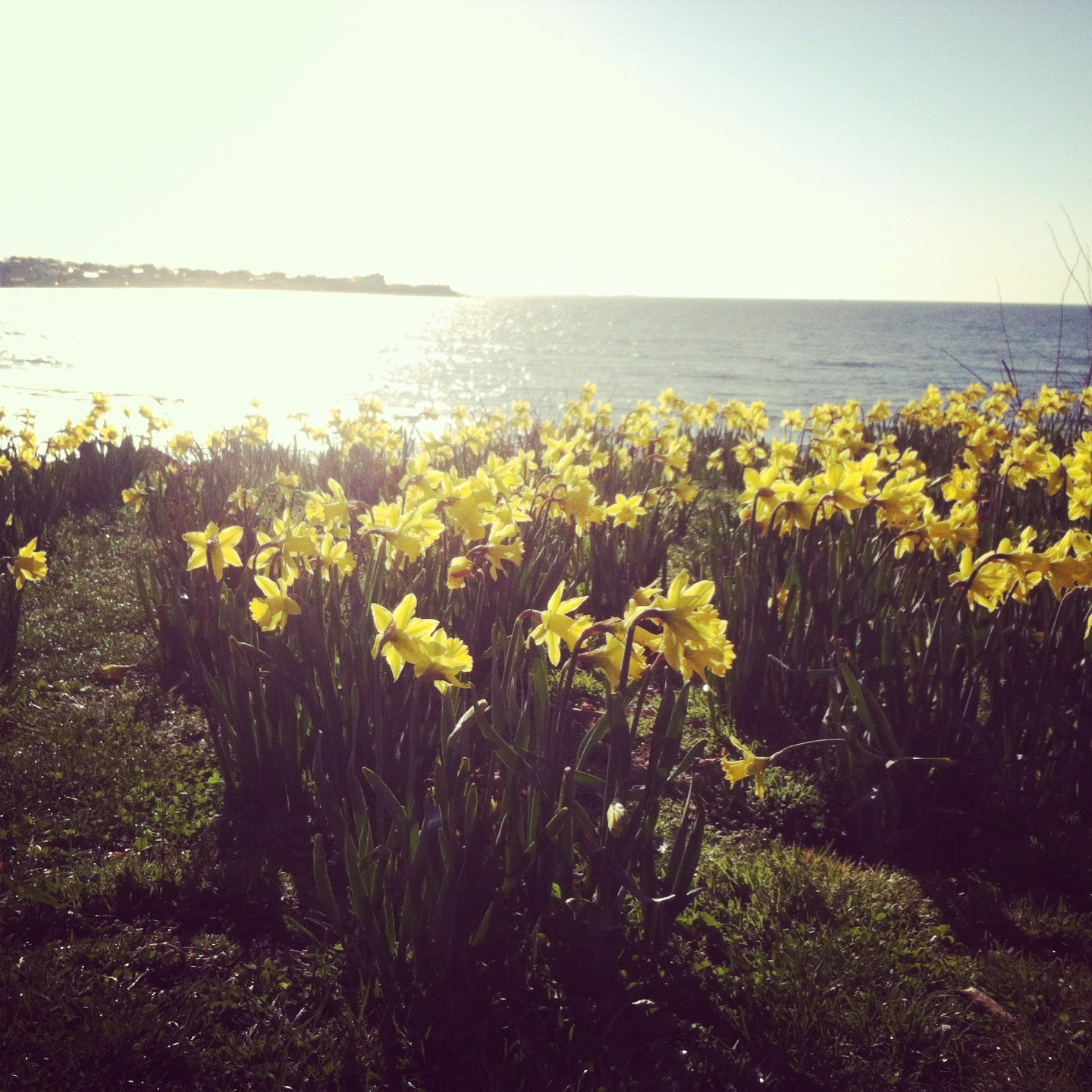Check out 866,500 daffodils blooming across Newport during the Newport Daffodil Days Festival, April 14-22.