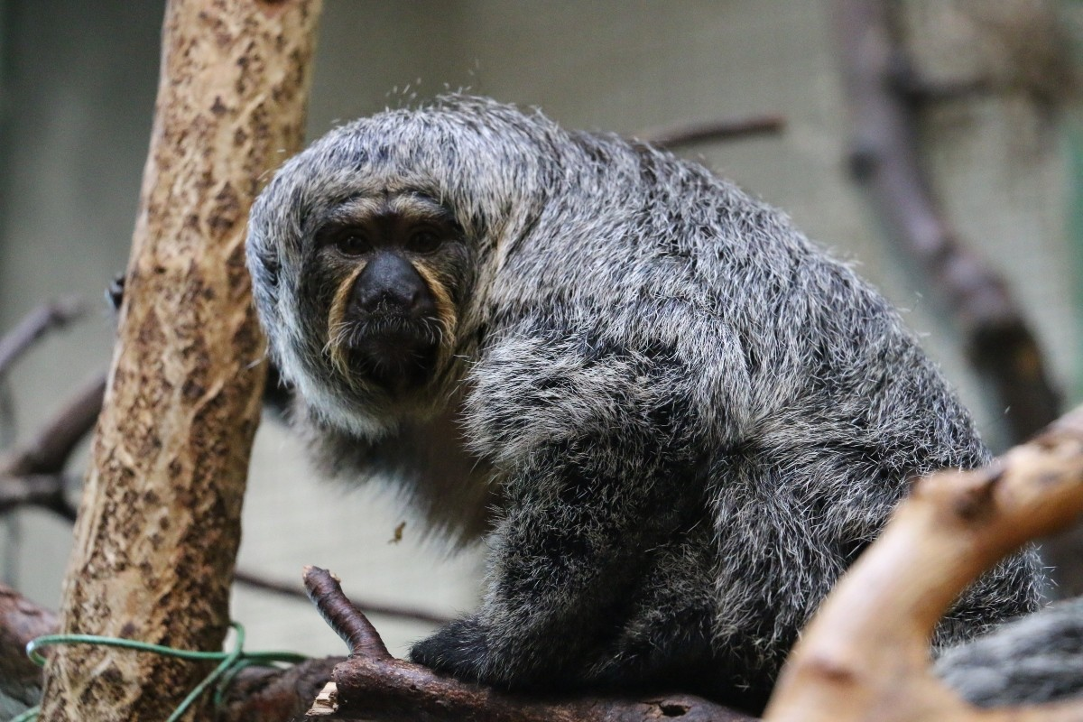 Suni the female Saki Monkey
