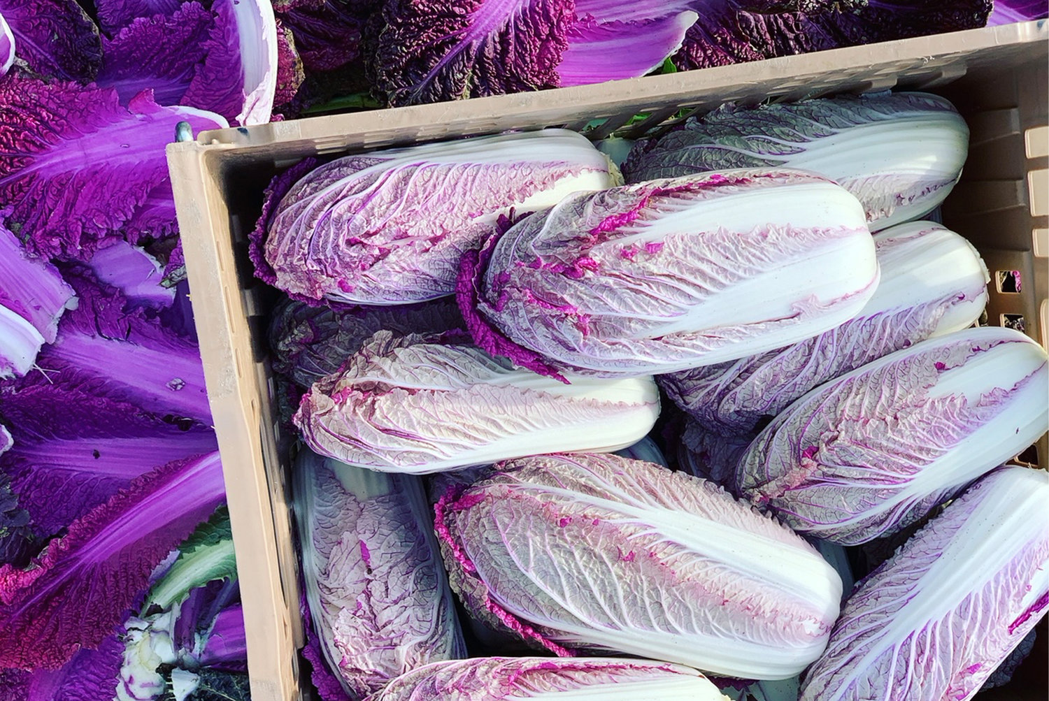 Red Napa Cabbage grown on Wishing Stone Farm