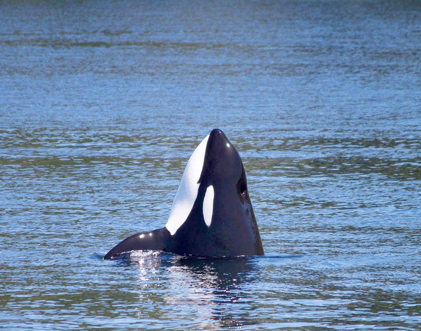 A transient orca spy-hops on a summer day in Puget Sound. Photo courtesy Puget Sound Express