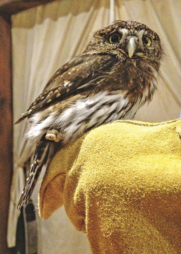 Live owls and hawks are to be at the Cotton Building Saturday, April 22 for children ages 10-12 to draw while their parents volunteer during Earth Day. Artwork is to be judged and prizes awarded. Photo by Katie Kowalski
