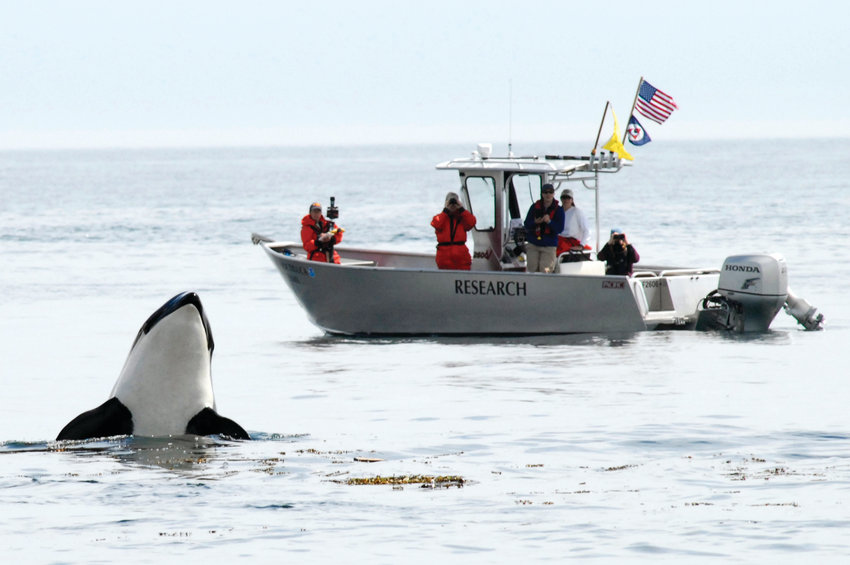"""Southern Resident killer whales are listed as endangered under the U.S. Endangered Species Act. In July 2006, the crew aboard the National Marine Fisheries Service vessel Noctiluca observed a """"spy hopping"""" Southern Resident killer whale off San Juan Island."""