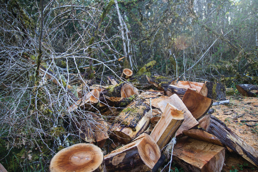 Stealing wood in Jefferson County is a lucrative business. In January, two men cut down a maple tree on the property of Ted Hunter, who lives near Lake Leland, to sell the quilted maple for guitar backs.