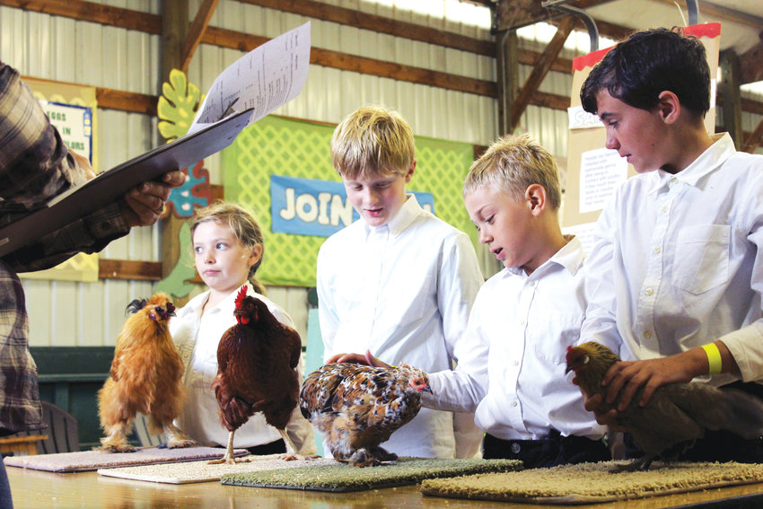 Soren Randall, 10, and his chicken, Peep, stand perfectly still as judges test the handlers' knowledge of their animals. Next to him, Soren's fellow junior members of the Peninsula Poultry 4-H Club, Grace, age 9,  Zeke Banks, age 9, and Thea Barnett, age 11, show their chickens. As the youth are answering the judge's questions, the chicken is supposed to stand still and calm on the carpet square for the duration of the event, which can last 20 minutes or more. Peep's calm and poise helped Soren win the Champion award.