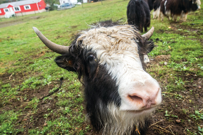 Three things farmers like about yaks are they generate income from milk, meat and fiber. The Himalayan bovine is known for its mixture of silky and tough hair.