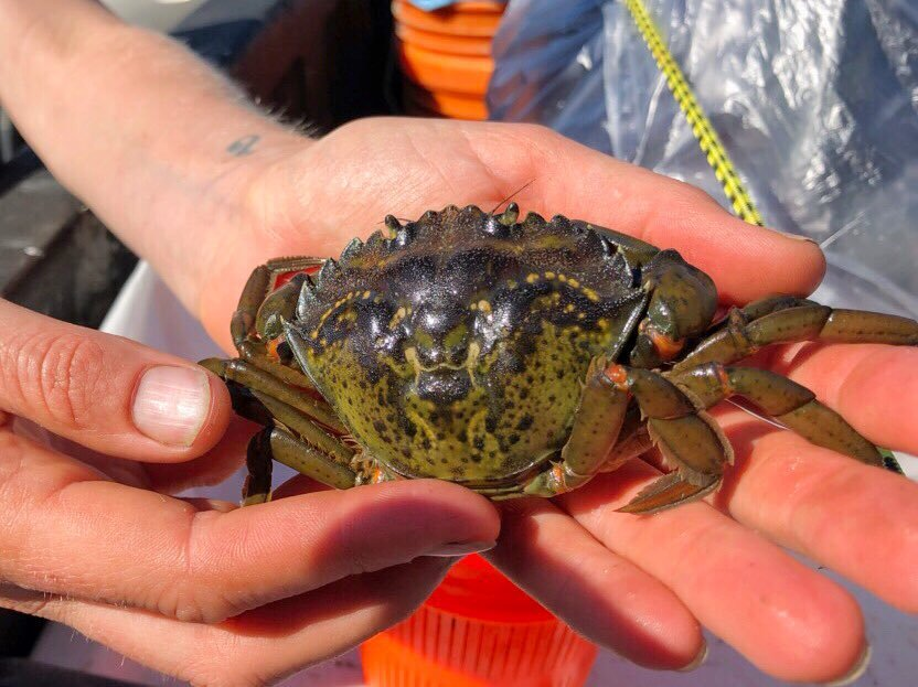 This European green crab was found by a member of the Washington Sea Grant Crab Team in Westcott Bay on San Juan Island.