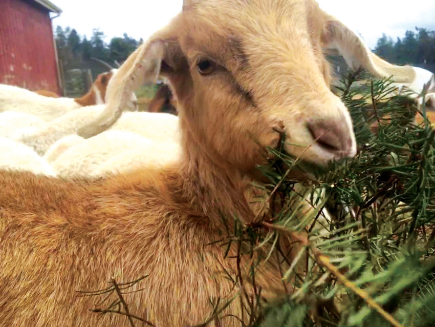 Bowman Goat Farms will be feeding leftover Christmas trees to its goat herd.